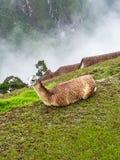 Lasa descansó reservado en Machu Picchu foto de archivo