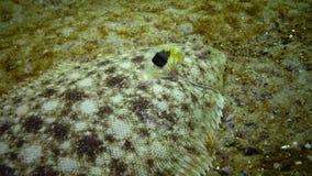 Lascaris de Pegusa da sola de areia dos peixes lisos, similares à areia filme
