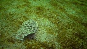 Lascaris de Pegusa da sola de areia dos peixes lisos, similares à areia video estoque