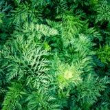 Lascia a carote le cime l'agricoltura di verdure del raccolto del raccolto del mazzo Fotografia Stock Libera da Diritti