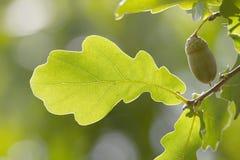 Lascia la quercia dell'albero Immagine Stock
