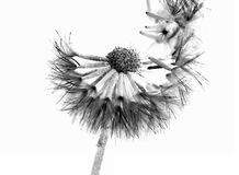 Lasciare del fiore va del suo seme Fotografia Stock