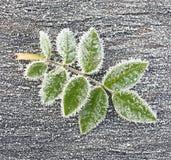Lasciare di Rosa nei cristalli di ghiaccio. Immagine Stock