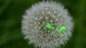 Laser beam on dandelion flower head (puffball) stock video