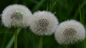 Laser beam on dandelion flower heads (puffballs) stock footage
