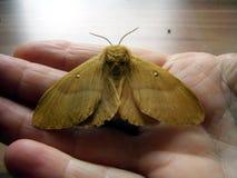 Lasiocampa quercus moth Stock Images