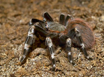 Lasiodora parahybana, Brazilian ptitseyad pink is Royalty Free Stock Photos