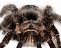 Lasiodora parahybana Royalty Free Stock Photography