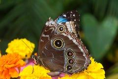 Lasiommata-achine, das buttefly auf der Blume sitzt Lizenzfreie Stockbilder