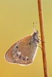 Lasiommata megera L. Royalty Free Stock Image