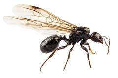 Lasius del Niger di specie della formica del giardino alato il nero Fotografie Stock
