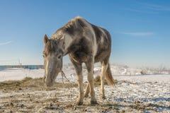 Laska é um cavalo da criança de dois anos Gosta de correr ao redor fotos de stock royalty free