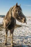 Laska é um cavalo da criança de dois anos Gosta de correr ao redor imagem de stock