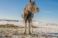 Laska é um cavalo da criança de dois anos Gosta de correr ao redor foto de stock