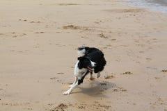 Laska - Border collie, die auf dem Strand laufen lizenzfreies stockbild