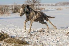 Laska es un caballo de dos años Fotografía de archivo