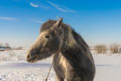 Laska es un caballo de dos años Le gusta correr alrededor Imagen de archivo libre de regalías