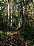 Lasowa ścieżka między brzozami Zielona trawa tła gałąź zieleni jeziora liść Lato 2018 w Rosja, Sierpniowy piękno zdjęcie stock