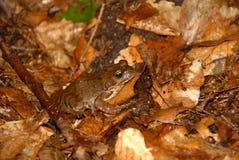 lasowa żaba Fotografia Royalty Free