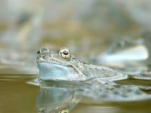lasowa żaba stawu wiosna Fotografia Stock