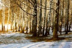 Lasowa brzoza Zdjęcia Stock
