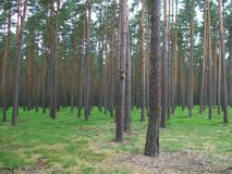Lasowa czarna jagoda Obrazy Stock