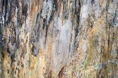Lasowa drewniana tekstura obraz royalty free