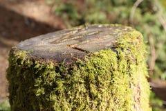 Lasowa droga przemian - Rżnięty drzewo z mech obraz royalty free