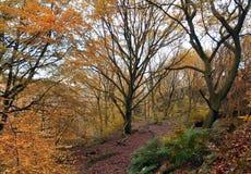 Lasowa droga przemian w Listopadu bukowym lesie w Yorkshire England Fotografia Stock