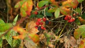 Lasowa dzika owoc Obraz Royalty Free