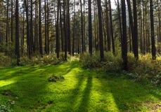 Lasowa halizna Zdjęcie Royalty Free