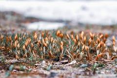 Lasowa halizna z pierwszy jaskrawymi pomarańczowymi pierwiosnkami w ostatniego roku ulistnieniu Pojęcie sezony, pogoda zdjęcie stock
