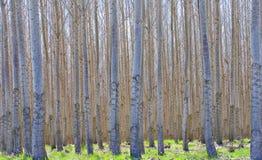 lasowa hybrydowa topola Obrazy Stock