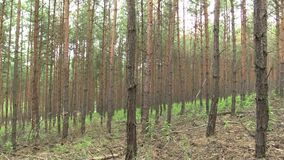 Lasowa monokultura sosnowa Pinus sylvestris lasu barkentyna w krajowym rezerwacie przyrody Vate pisky, ekspansywny, i zdjęcie wideo