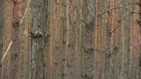 Lasowa monokultura sosnowa Pinus sylvestris lasu barkentyna w krajowym rezerwacie przyrody Vate pisky, ekspansywny, i zbiory