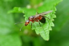 Lasowa mrówka z skrzydłami królowa mrówka Zdjęcia Royalty Free