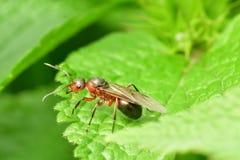 Lasowa mrówka z skrzydłami królowa mrówka Zdjęcie Royalty Free