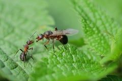 Lasowa mrówka z skrzydłami królowa mrówka Obrazy Stock