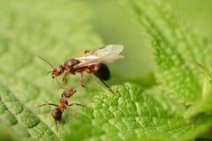 Lasowa mrówka z skrzydłami królowa mrówka Zdjęcia Stock