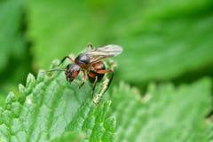 Lasowa mrówka z skrzydłami królowa mrówka Obrazy Royalty Free