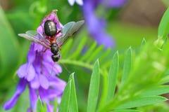 Lasowa mrówka z skrzydłami królowa mrówka Fotografia Stock