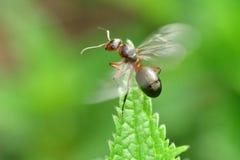 Lasowa mrówka z skrzydłami królowa mrówka Obraz Stock