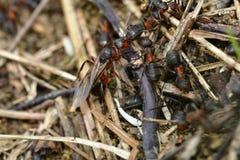 Lasowa mrówka z skrzydłami królowa mrówka Fotografia Royalty Free