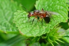 Lasowa mrówka z skrzydłami królowa mrówka Zdjęcie Stock