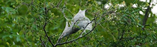 Lasowa namiotowa gąsienica ważna zaraza w twarde drzewo stojakach zdjęcia stock