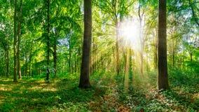 Lasowa panorama z jaskrawym słońcem i dużymi drzewami Obraz Stock