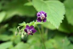 Lasowa roślina z małymi purpurowymi kwiatami Fotografia Stock
