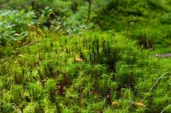 Lasowa roślina Dziki lasowy mech Mech w górach Zdjęcie Royalty Free