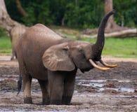 Lasowa słoń woda pitna od źródła woda Obraz Stock