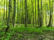 Lasowa sceneria na pogodnym wiosna letnim dniu z traw żywymi drzewami zielenią i opuszcza przy gałąź przy parkowym botanicznym pl Obraz Stock
